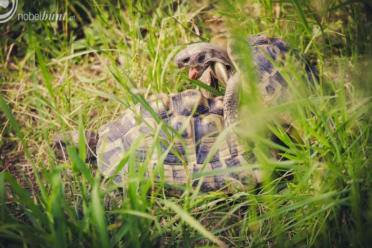 Schildkröten Sex